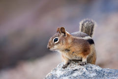 Ground Squirrel, Golden Mantle
