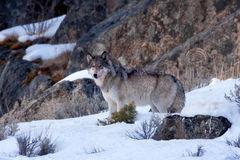 Wolf, Gray Wolf, Winter, Yellowstone, Wyoming
