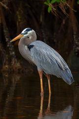 Heron, Great Blue, Great Blue Heron, Florida