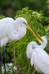 Egret, Great Egret, Florida