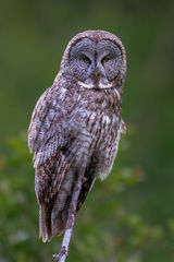Owl, Gray Owl, Great Gray Owl, Wyoming