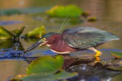 Heron, Green Heron, Florida