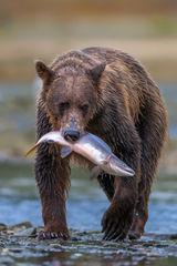 Bear, Brown Bear, Grizzly Bear, Fishing, Salmon, Alaska