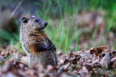 Groundhog, Virginia
