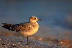 Gull, Florida