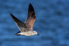 Gull, Flight, Florida
