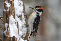 Woodpecker, Hairy Woodpecker, Wyoming