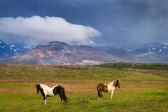 iceland, icelandic, horses