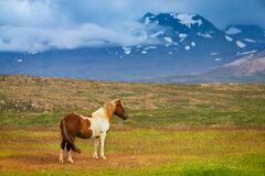 iceland, horse