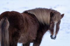 Iceland, Icelandic, Horses, Winter, Snow
