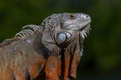 Iguana, Florida