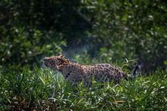 Jaguar, Brazil, Pantanal