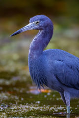 Heron, Little Blue Heron, Florida