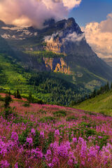 Montana, Glacier, Glacier Park, Glacier National Park, mountain, fireweed