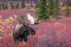 Moose, Bull Moose, Alaska, Denali