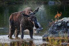 Moose, Bull Moose, Maine, Baxter