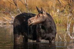 Moose, Cow Moose, Wyoming, Grand Teton
