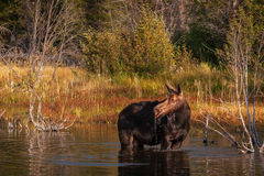 Moose, Cow Moose, Wyoming, Grand Teton