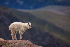 Goat, Mountain Goat, Colorado, Mount Evans