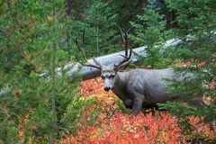 Deer, Mule Deer, Buck, Wyoming, Grand Teton