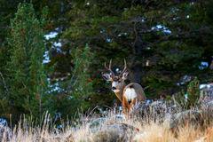 Deer, Mule Deer, Buck, Wyoming, Whiskey Mountain