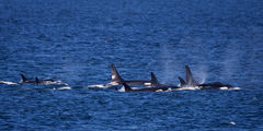 Whale, Orca Whale, Washington, San Juan Islands