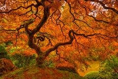 Oregon, Portland, Maple, Tree, Fall, Color
