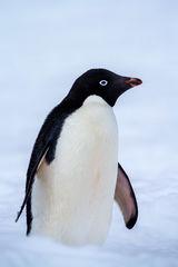 Penguin, Antarctica