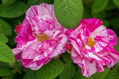 California, Mendocino, Rhododendron, Pink