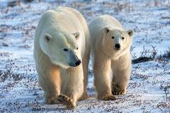 Bear, Polar Bear, Canada, Churchill, Manitoba