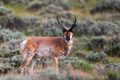 Pronghorn, Antelope, Wyoming