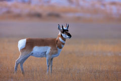 Pronghorn, Antelope, Wyoming, Yellowstone