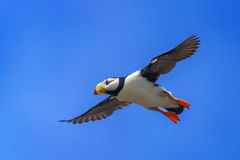 Puffin, Atlantic Puffin, Alaska
