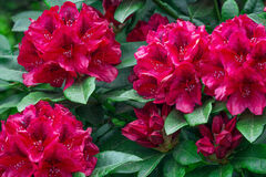 California, Mendocino, Rhododendron, Red