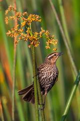 Blackbird, Red Winged Blackbird, Florida