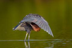 Egret, Reddish Egret, Florida