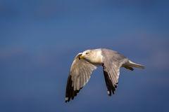 Gull, Ring Billed Gull, Florida