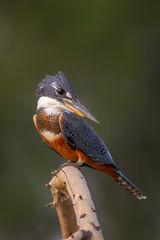 Kingfisher, Ringed Kingfisher, Brazil