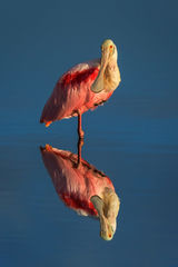 Spoonbill, Roseate Spoonbill, Florida