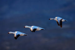 Geese, Snow Geese, New Mexico, Bosque del Apache