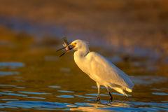 Egret, Snowy Egret, Florida