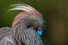 Heron, Tri Colored Heron, Florida