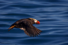 Puffin, Tufted Puffin, Alaska