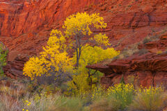 Utah, Hite, Canyons, Cottonwood, Tree, Red Rock, Fall Color