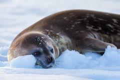 Seal, Weddell Seal, Antarctica