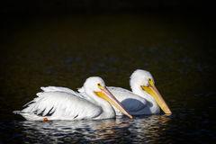 Pelican, White Pelican, Florida