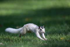 White Squirrel, North Carolina