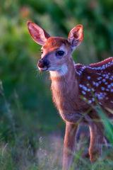 Fawn, Whitetail Fawn, Virginia, Shenandoah