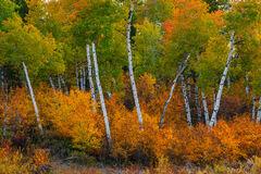 Wyoming, Grand Teton, National Park, Aspen, Trees
