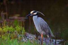 Heron, Yellow Crowned, Night Heron, Florida